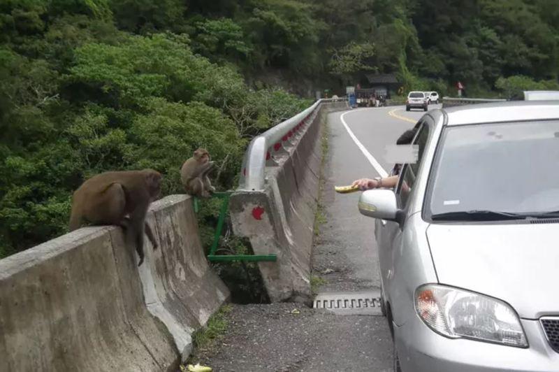 台東縣東河鄉泰源登仙橋是賞猴景點,因有遊客不當餵食,使得猴子出現騷擾搶食行為。圖/聯合報系資料照片