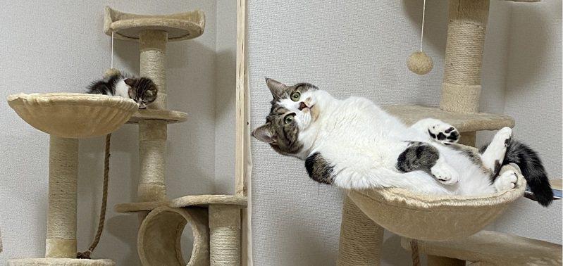 日本一位網友養貓一年,貓咪展現的氣場截然不同,儼然有如「菜鳥晉升老闆」一樣。圖擷取自twitter
