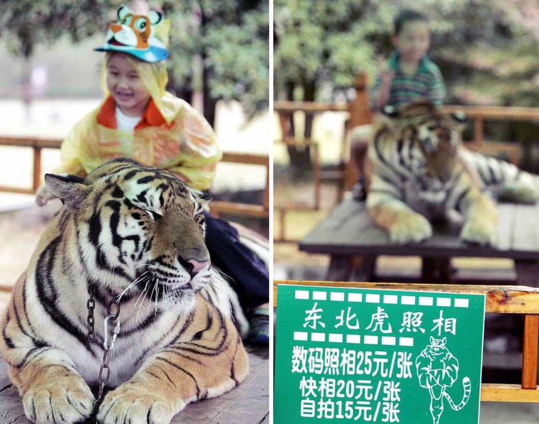 在2002年開園後不久,杭州野生動物世界就推出「東北虎照相」活動,讓遊客直接騎在...