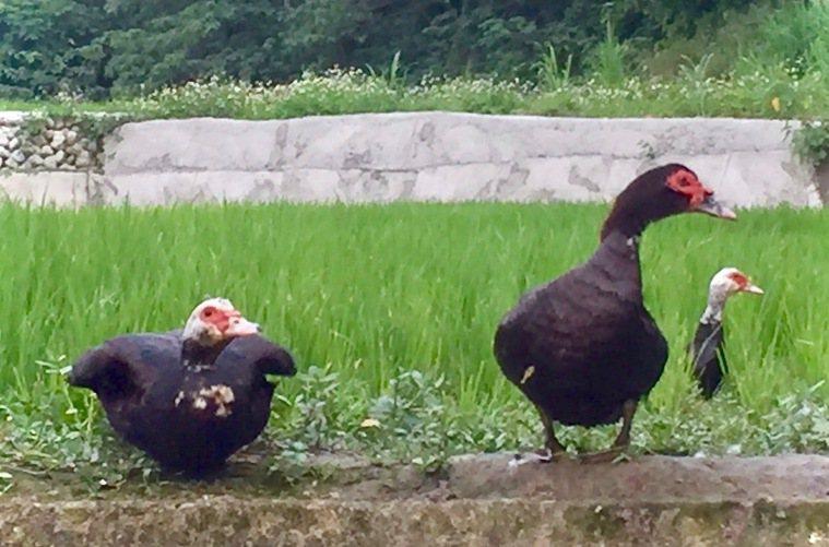李春信的番鴨隊以母鴨為主力。圖/李春信提供