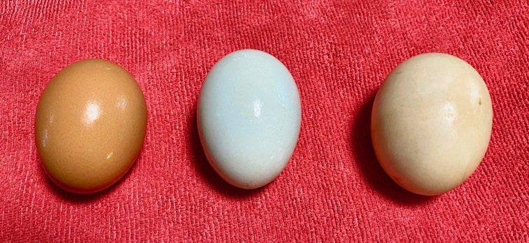 左起:雞蛋61克、市售菜鴨蛋65克、野放番鴨蛋84克圖/朱慧芳提供