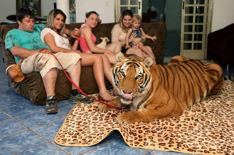 巴西聖保羅馬加林的富翁阿里(Ary Borges)曾從馬戲團裏救出了兩隻老虎,然後把牠們養在家中。(Barcroft TV)