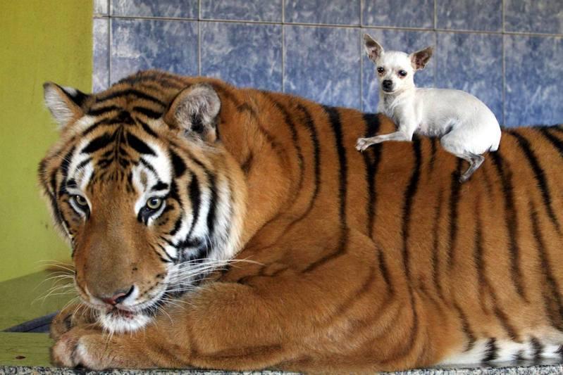 老虎有足夠的食物,而且已習慣與家中寵物生活在一起,因此狗狗爬到背上也很安全。(Barcroft TV)