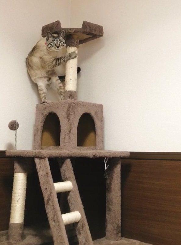 日本一位網友的貓咪被吸塵器的聲音嚇到,躲在貓跳台上露出驚慌的表情。圖擷取自twitter