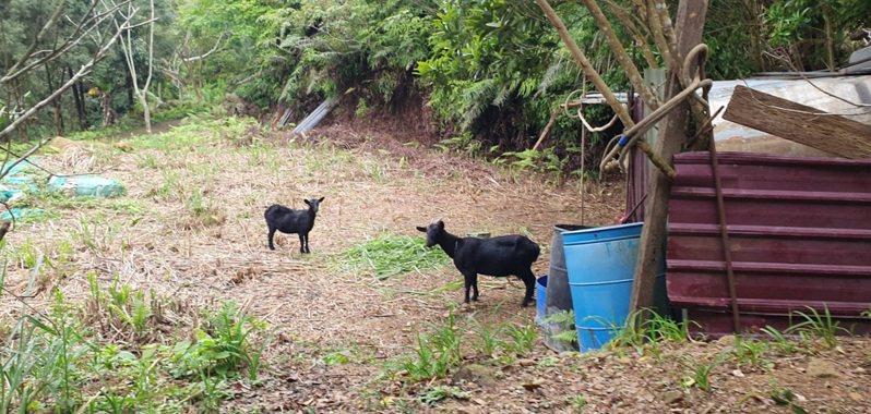 仙島為原住民族保留地,島上還飼養山羊。圖/黃智靖提供