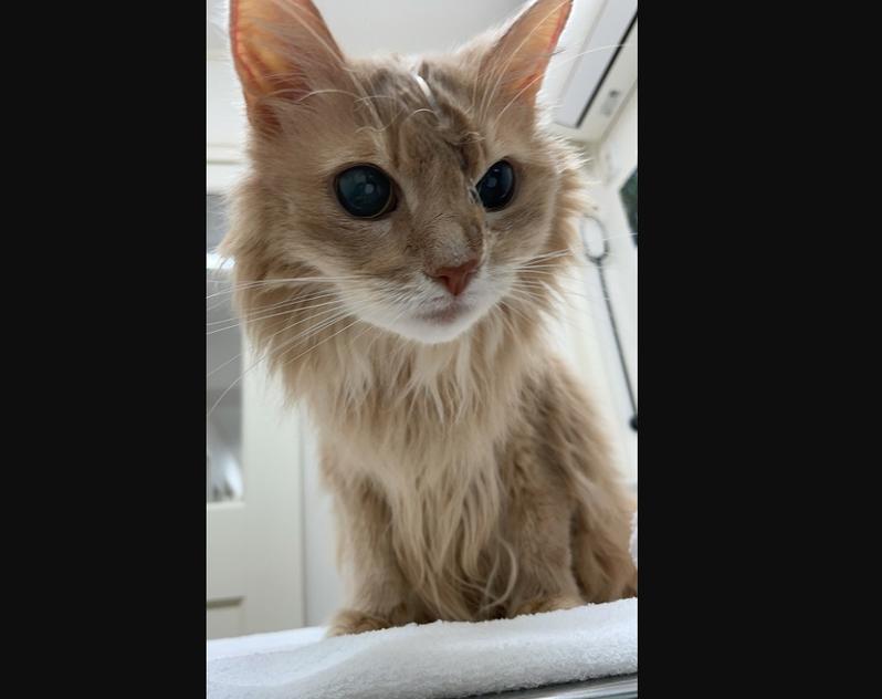 生病中的母貓Silk明顯消瘦。圖/取自部落格ソマリ猫そま吉