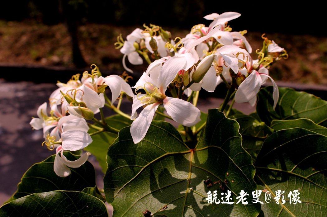 每年此刻各地的油桐花訊頻傳,油桐枝頭上就會覆蓋一層白色的油桐花,恰似冬雪占滿山頭,吸引著人們的目光。