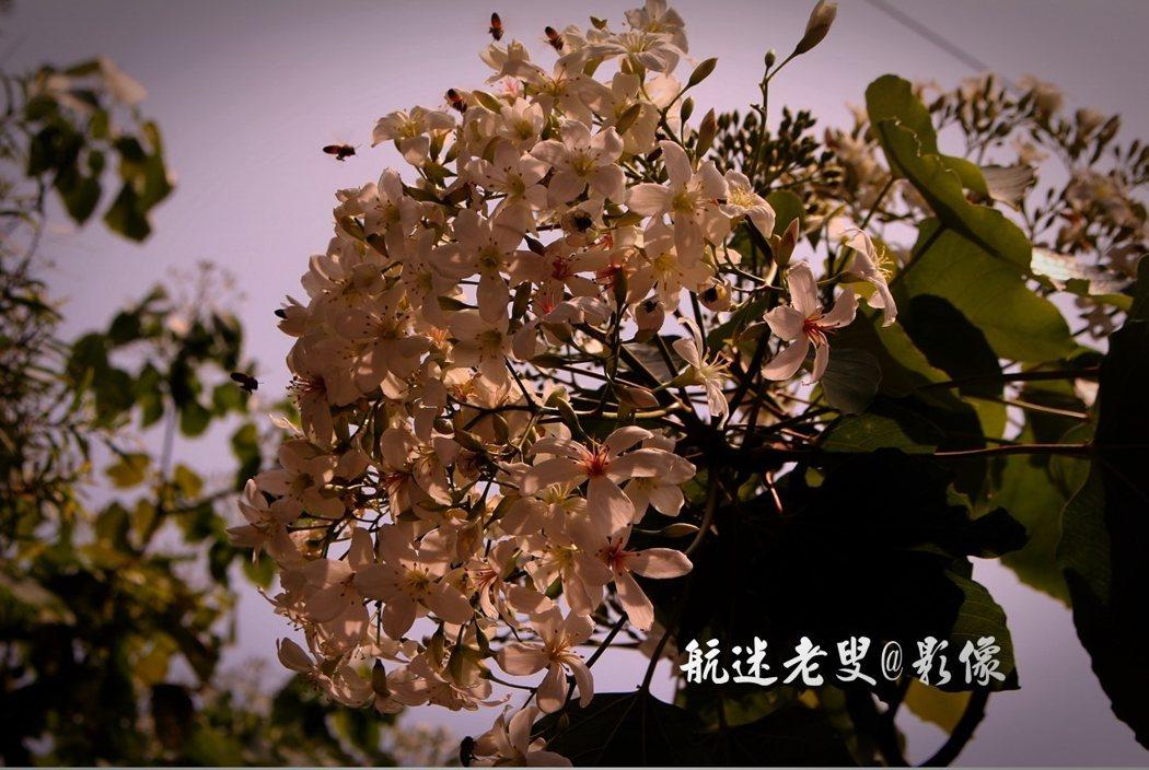 油桐花,清風拂過,潔白的花不爭不搶,施施然從樹上飄落,宛如雪花飄零,浪漫充滿詩意。