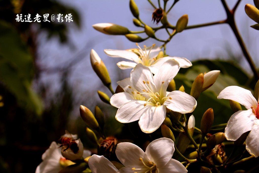 潔白,碩大,稠密,花蕊是淺黃色的,花瓣靠萼的地方微微泛紅,暈出一種楚楚可憐花朵將飄落,略微給人些憂傷的感覺。