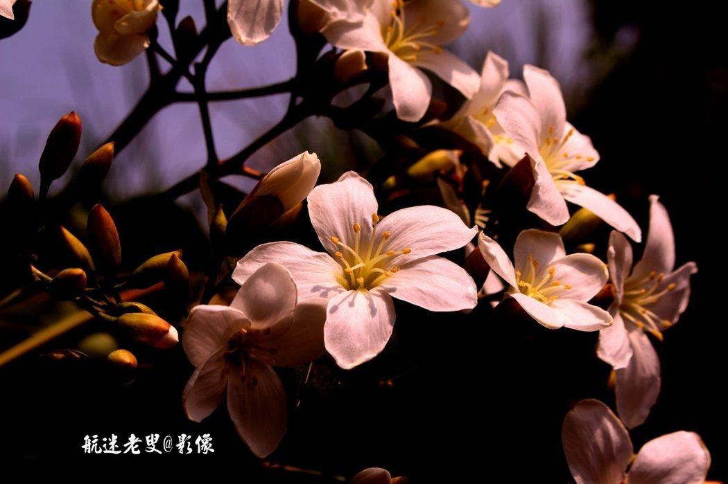 一顆顆油桐樹上,一束束花枝招展,在風中飄搖迎客,美不勝收,油桐樹花開,漫山遍野一片白。