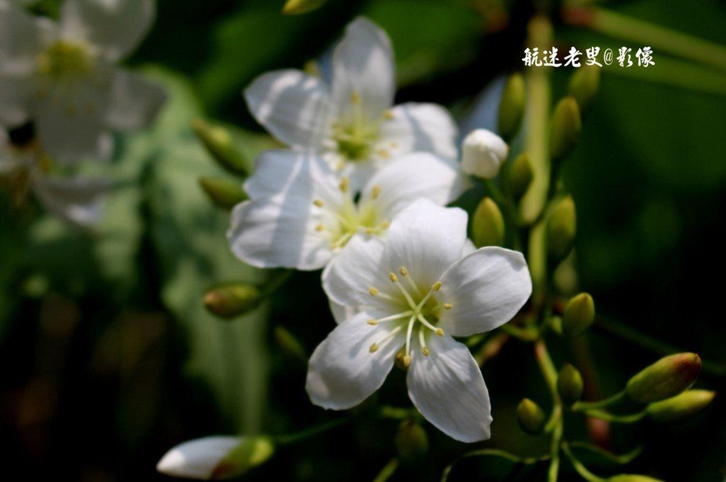 當地人說,油桐花可以分雄花跟雌花;通常在地上看到凋謝的桐花都是雄花,因為雄花為了讓雌花有更多的養分結桐花果子繁衍下一代所以犧牲了自己這是雄花對大自然無私的奉獻!