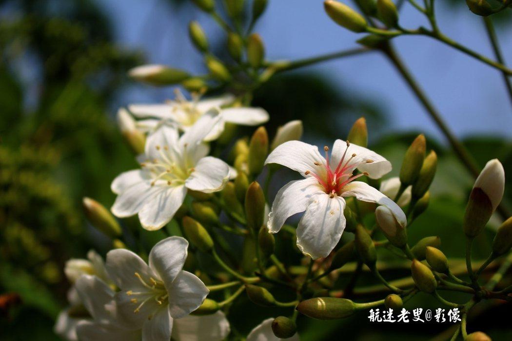 油桐花在兩週內由長滿葉子,接著就開花,早春發芽,接著滿樹白花簇簇,初夏白花如雪下。