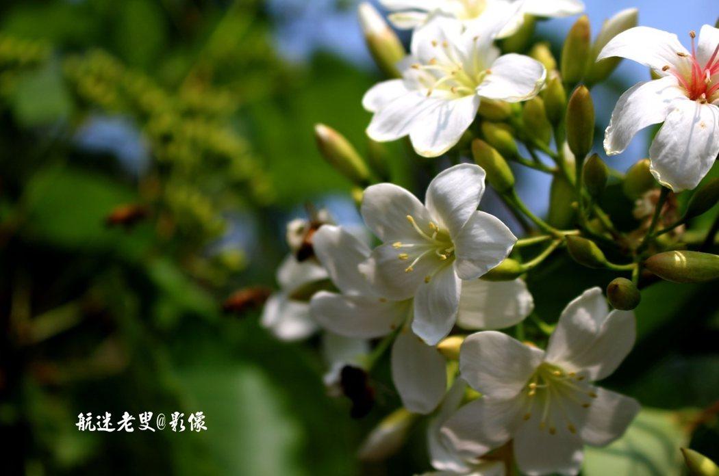 油桐花開了,漫山遍野白花覆蓋,蜜蜂漫天飛舞,一幅幅圖畫映入眼簾,一陣陣清香沁入心脾。