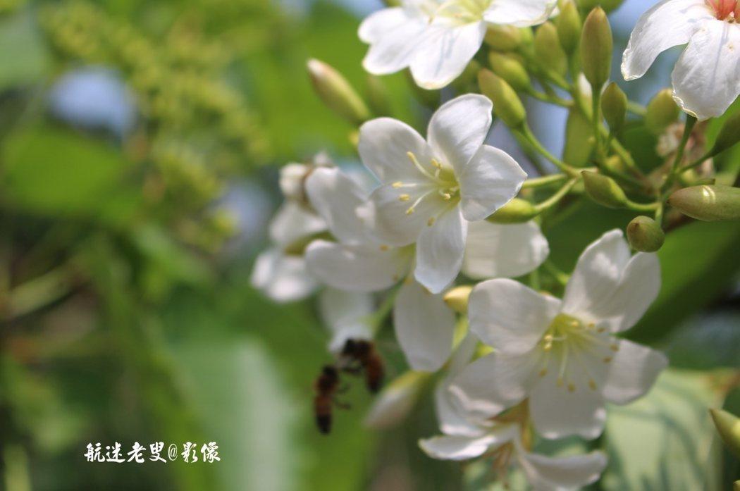 油桐台灣南北各地的風貌不同,晚春四、五月間似雪的繁花綴滿嫩綠綠的枝椏,找個假日一起來賞五月雪花吧!