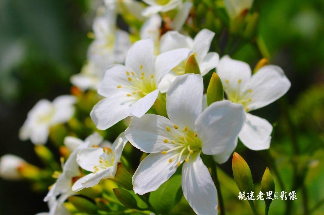 大片的油桐花悄然盛放,花開滿樹,放眼望去,繁花似雪,如白色的雲霞,在青山古道間浮動,散佈在山野的每一個角落。
