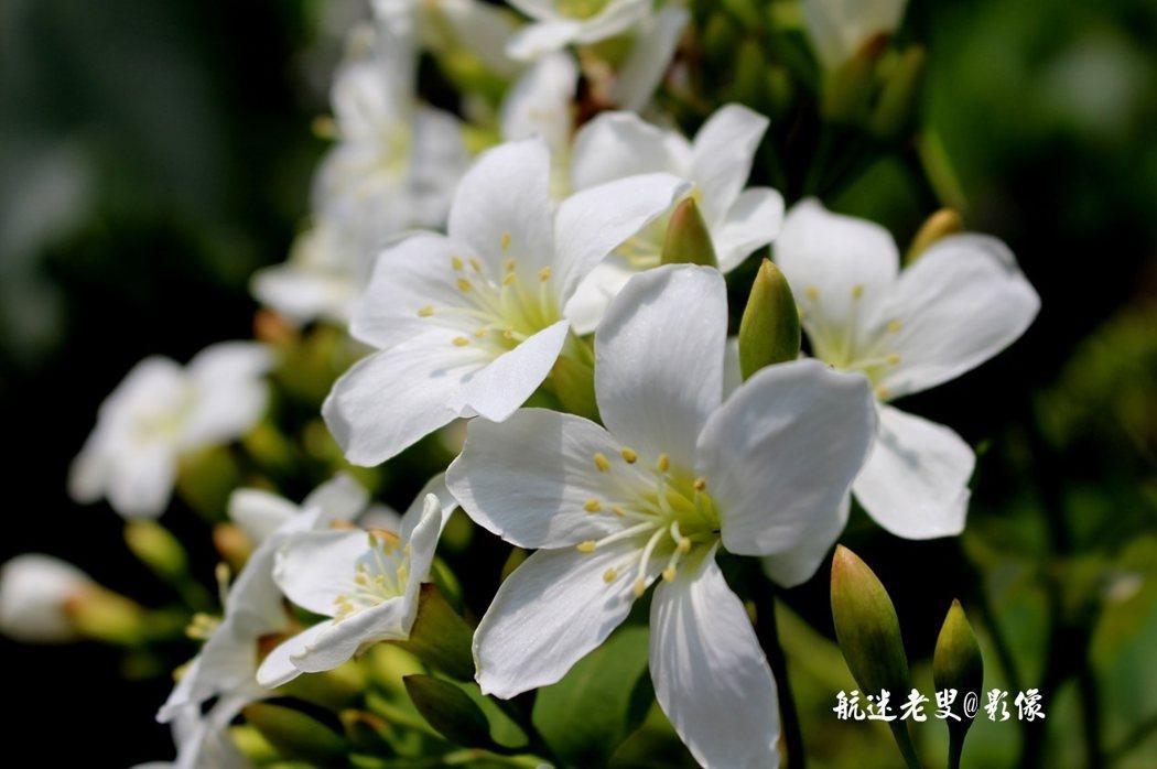 近賞嬌妍素潔,白中透著黃色花蕊,像碧玉般晶瑩溫潤,朵朵聚合的花枝,如一束一束玲瓏剔透的白玉,在綠葉扶持下,顯得那樣清新樸素、潔白純淨、優雅動人。