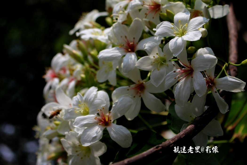 油桐花一束緊挨著一束,新綠的枝芽、白色的花朶,為挑水古道妝辦綺麗的浪漫景致。
