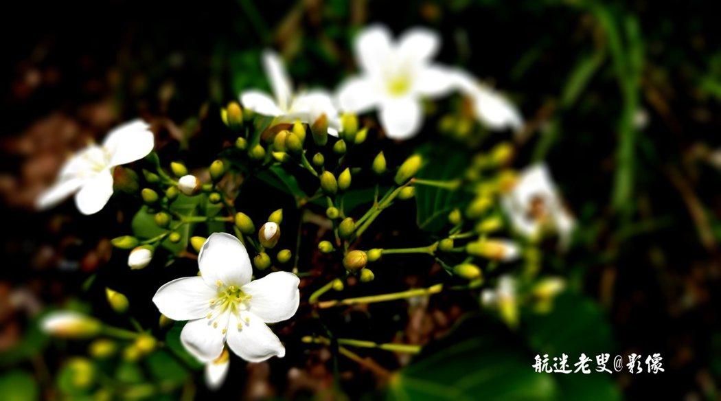 粉紅色的花蕊點綴於雪白的花瓣中,微風拂過,花朵如雪片般紛紛落下,地面厚厚一層落花如一層白雪,美得攝人心魄。