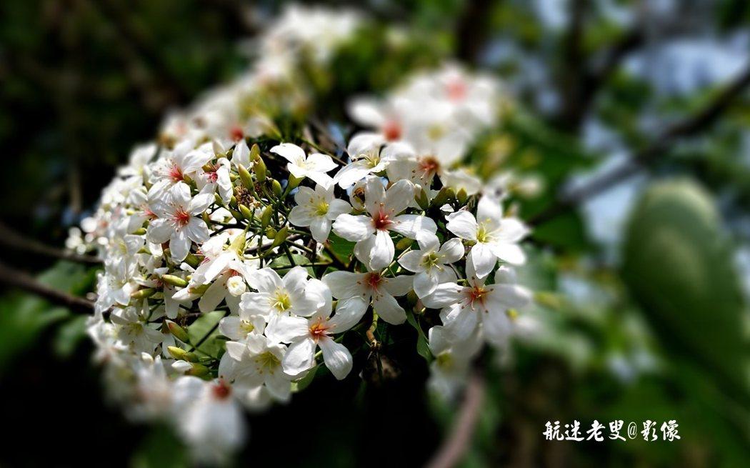 雪白的花瓣,襯托出挑水古道的寧靜,壓彎了樹枝,隨風搖曳,散發清香。