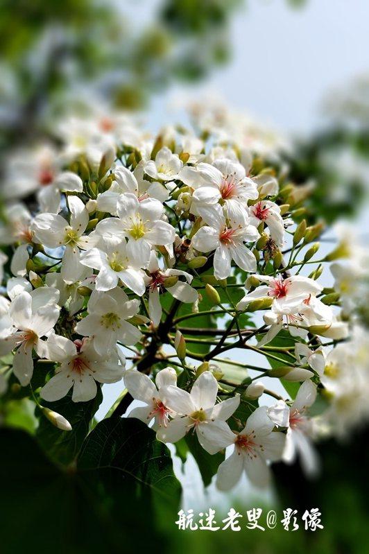油桐樹上萬棵,花開正盛,潔白的花瓣或掛在樹上,或片片嬌俏花朵隨風飄落,花枝顫動,落英繽紛,猶如雪上飛花。