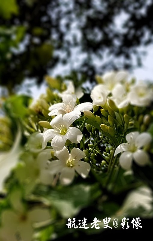 春末夏初,北臺灣的客家山林因為油桐花的盛開,形成一幅幅如白雪點綴山頭的特殊景觀,油桐花開,它就開始美的一塌糊塗了。