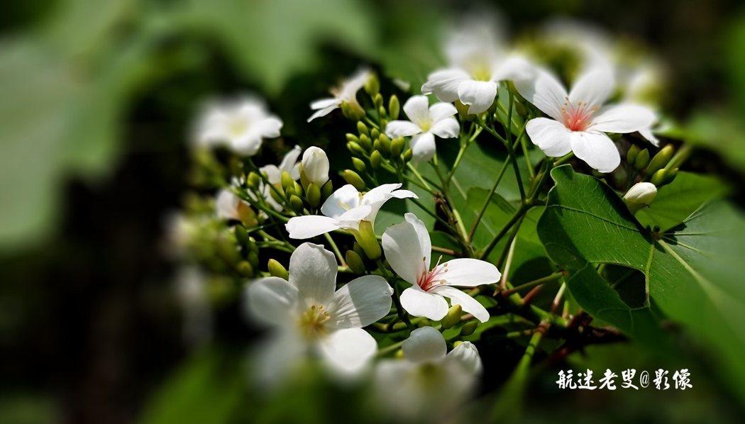 如果你還沒親近它,那你也一定聽說油桐花的美麗縮影,生活不可預測,現在相遇,下一秒後就可能再不重逢。