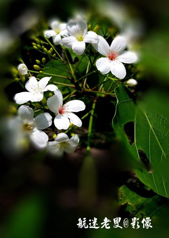 所以,遇見比別離更不容易,那就請不要吝嗇你的珍惜,邂逅五月的油桐花開,一起用力生活,認真熱愛吧!