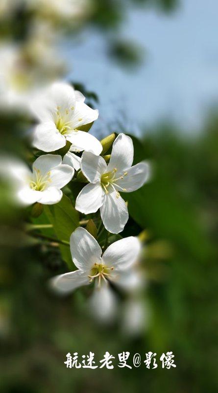 油桐花不如櫻花那般風華迷人,但它質樸, 那麼隨意,自有其美。