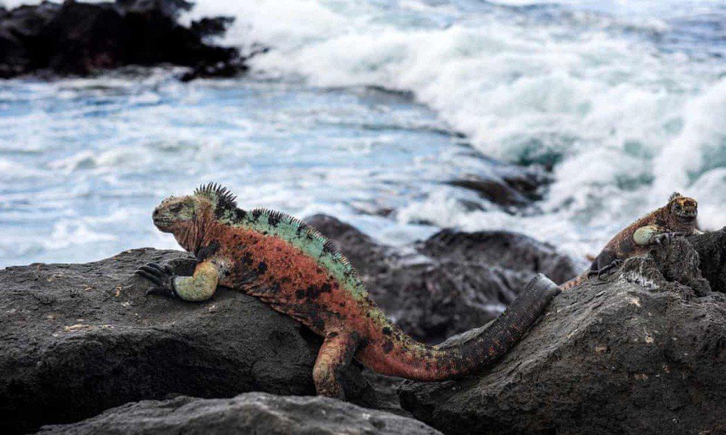 加拉帕戈群島的復原計畫包括恢復身為54個瀕危物種家園的佛羅倫娜島和重新培育13種...
