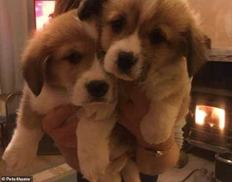 臘腸犬與威爾斯柯基犬混種的多基犬,資料照片。女王次子安德魯王子2月送上一對多基犬,想讓當時危機接連不斷的女王心情得以振作起來。這對多基犬後來被命名為佛格斯與米克,但佛格斯近日傳出死訊。畫面翻攝:MAILONLINE