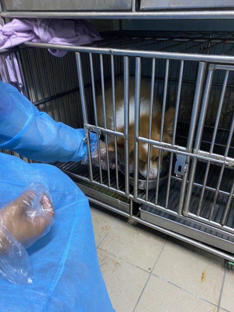 新北市動保處人員前往確診者住處,將犬隻運送至旅館照顧,全程消毒,讓飼主可以安心隔...