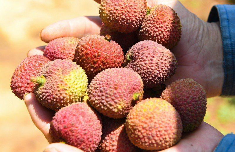 荔枝進入成熟期,商人前來採購。果農展示剛摘下來的新鮮荔枝。(新華社)