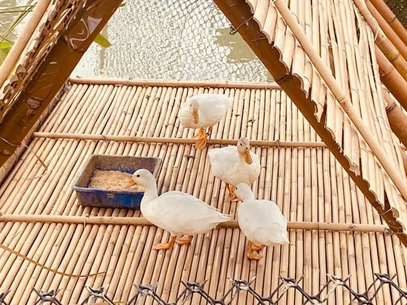 故宮南院下湖旁生態池,飼養4隻可愛寵物鴨「柯爾鴨」,萌樣可愛,等到休園結束重新開放見客。圖/故宮南院提供