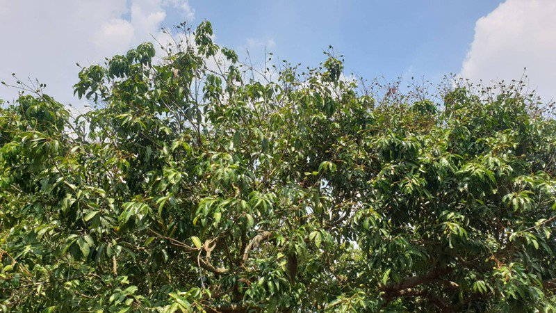 因缺水荔枝、龍眼乾旱著果率不良嚴重。圖/彰化縣政府提供