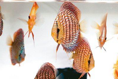 菖葳國際整合養殖業者,讓台灣觀賞魚在國際市場占有一席之地。記者劉學聖/攝影
