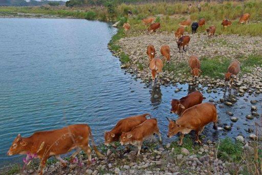 楊淑貞的鏡頭捕捉到群牛渡溪的畫面。 圖/楊淑貞 提供