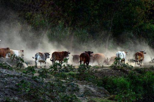 在楊淑貞的鏡頭下,彰化縣與台中市交界的貓羅溪畔河床,近兩百頭逐水草的牛群奔騰時,...
