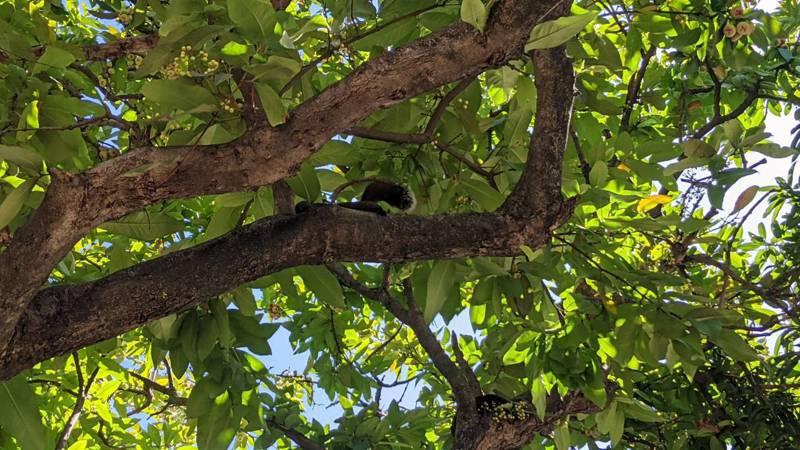 嘉義市文化公園的松鼠超過20隻。圖/嘉市府建設處提供