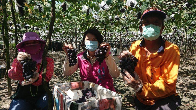 溪湖鎮露天葡萄進入產季,鎮長黃瑞珠(中)和農民希望與疫情印象脫鈎,消費者多多購買葡萄。記者簡慧珍/攝影