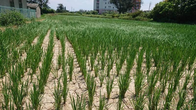 桃園新屋的農民控訴,池塘水門故障,導致60、70頃的水稻無法灌溉,甚至有部分農田龜裂。圖/讀者提供