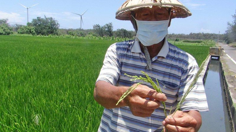 即便花了二十萬鑿深井抽水,也抵不過強旱,稻子不結穗。記者蔡維斌/攝影