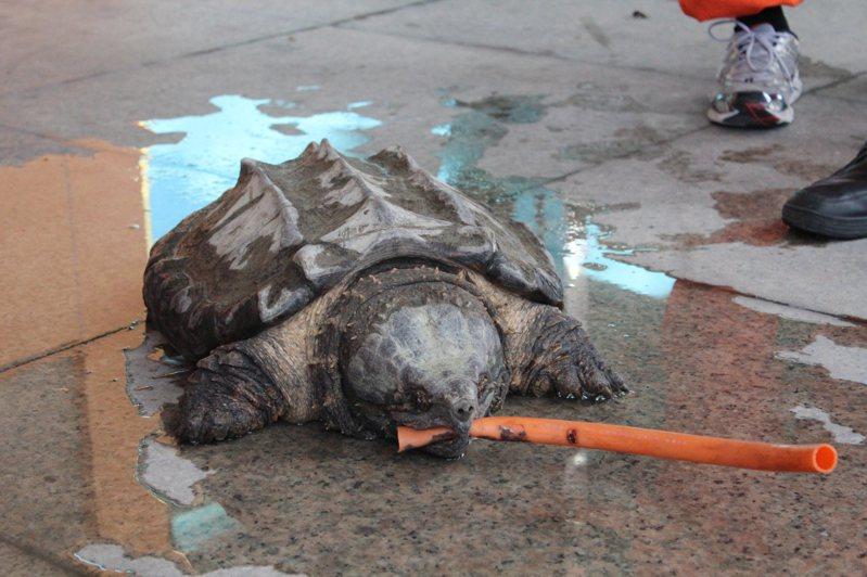 大鱷龜攻擊性強,一旦棄養易衝擊生態圈。圖/聯合報系資料照片