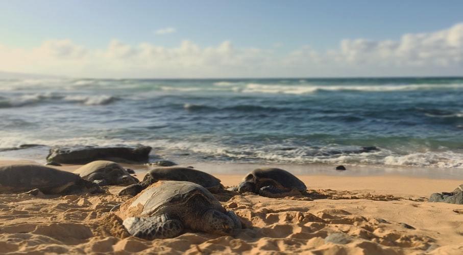 全世界七種海龜裡,有六種都已列入瀕危。 圖/unsplash