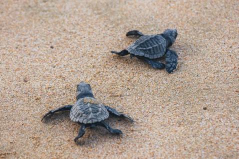 40年前,華盛頓公約就已將所有的海龜納入保護,禁止所有海龜與相關製品(如肉、蛋或...