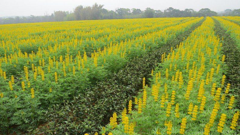 苗栗市貓裏休閒農業區內茶園冬天綠肥植物魯冰花,盛開時數大便是美。圖/本報資料照片