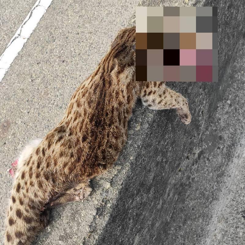 台61線西濱快速公路苗栗後龍北上路段上午發現一隻石虎遭路殺。圖/取自臉書「後龍大小事」