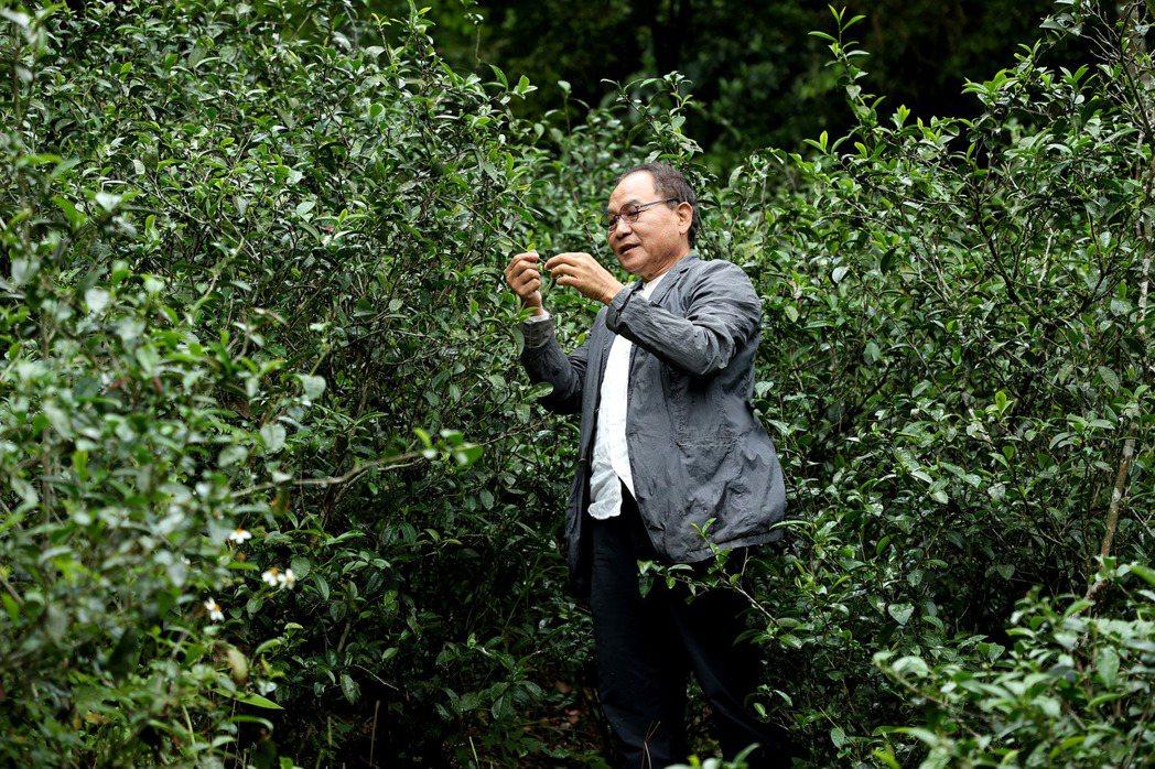 林憲能回故鄉坪林開墾生長於林間的原生態茶種,讓荒廢茶山有了新生命。攝影/余承翰