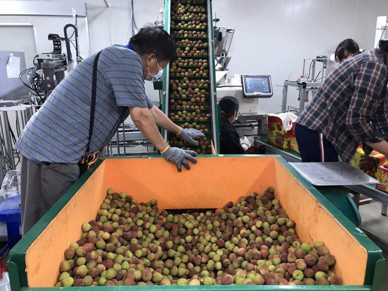 高雄大樹玉荷包正值產季,農業局向農委會爭取到外銷運費補助,力拚外銷。圖/高雄市農業局提供