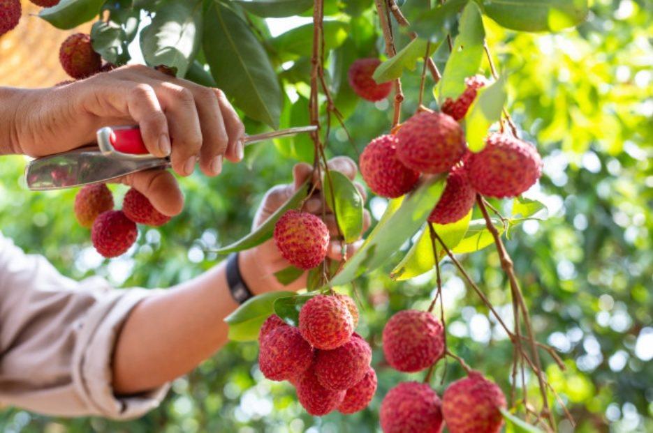 清甜可口的「荔枝」,乃是初夏應景的時令水果。 圖/freepik