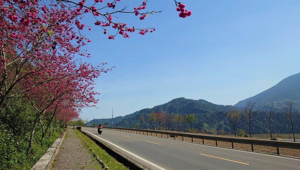 北橫3月櫻花綻放。圖/公路總局第一區養護工程處提供
